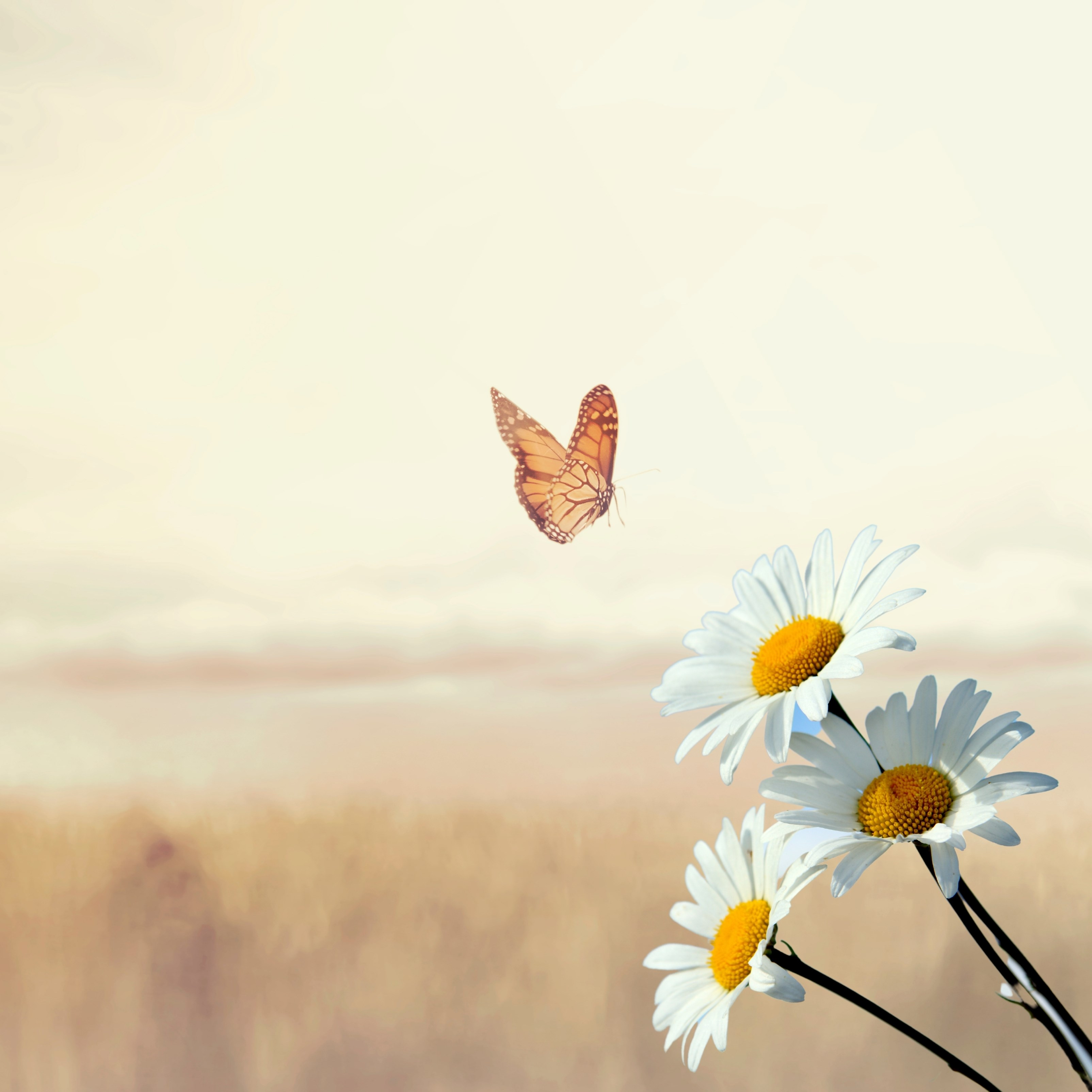 Butterfly Daisies Outdoors Flower Nature iPad Wallpaper