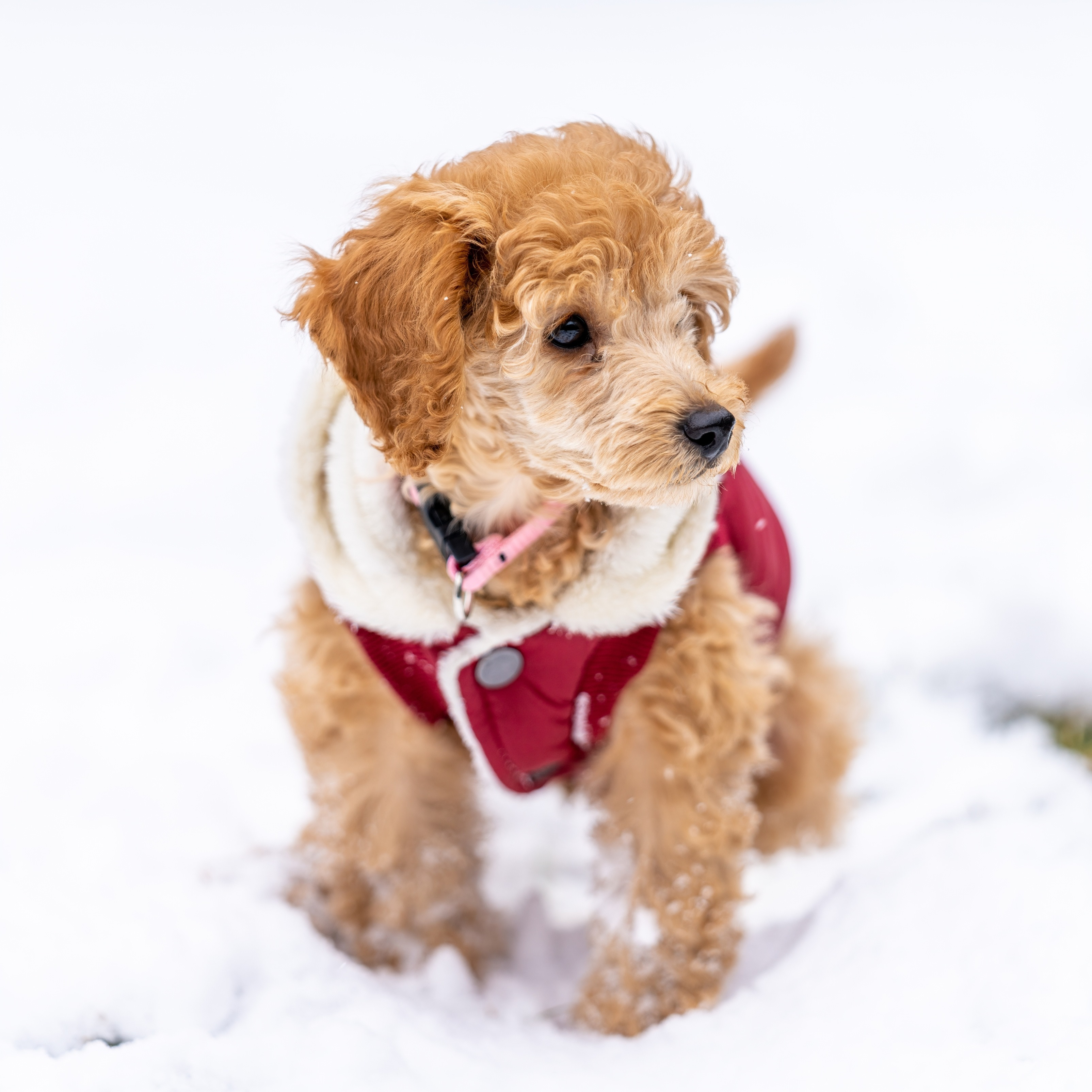 iPad Wallpapers Pet Puppy Walking on Snow Winter iPad Wallpaper 3208x3208 px