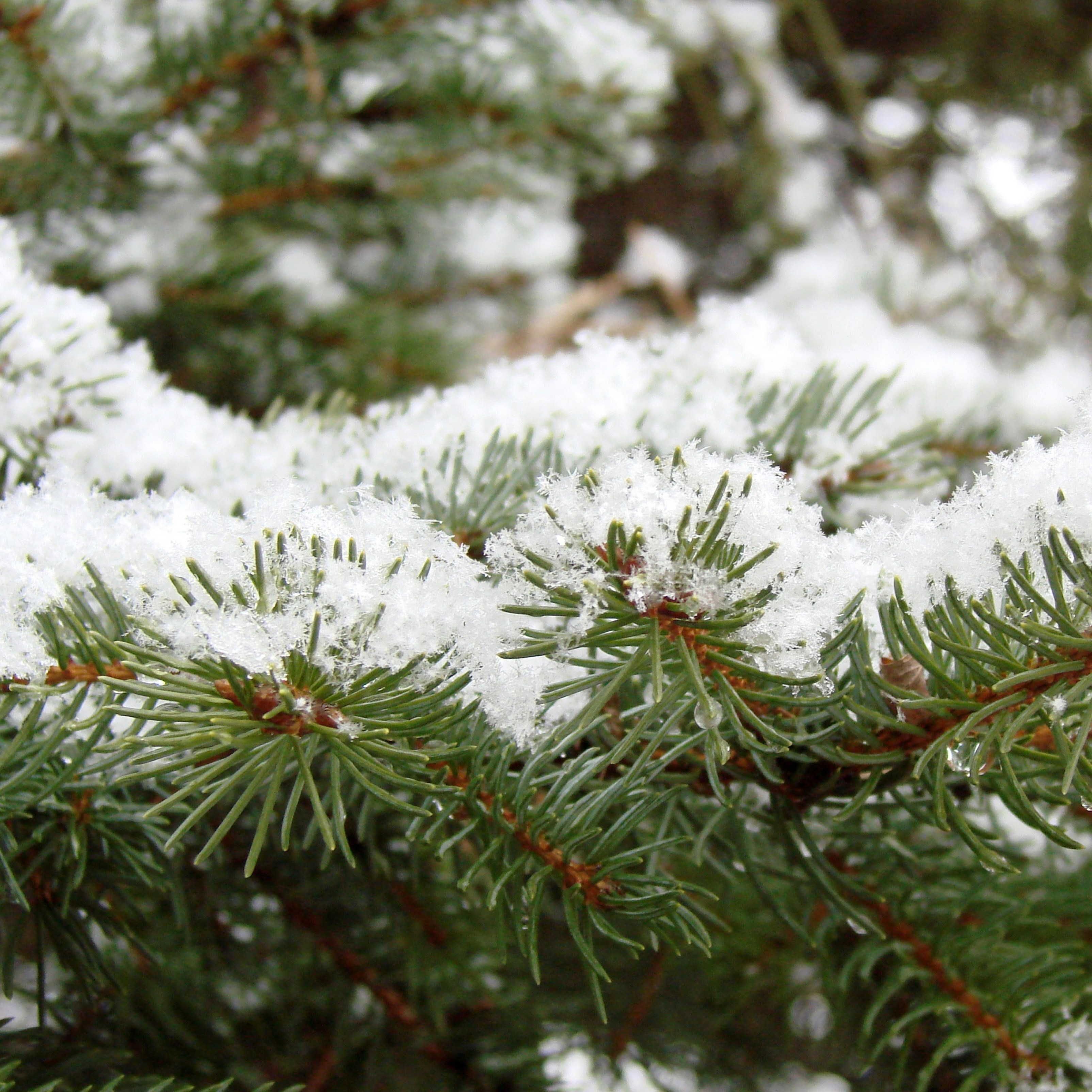Winter Pine Leaves Snow Green iPad Wallpaper